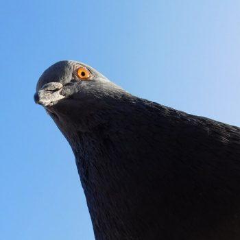 Böse Taube
